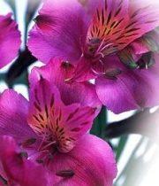 Alstroemeria-hot Pink