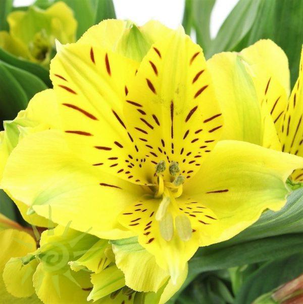 Wholesale Alstromeria_Yellow