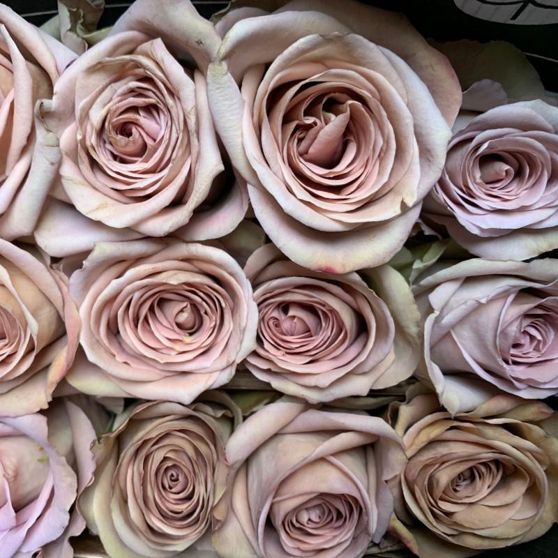 Amnesia Rose
