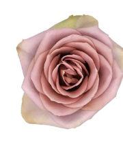 Lavender Amnesia Roses