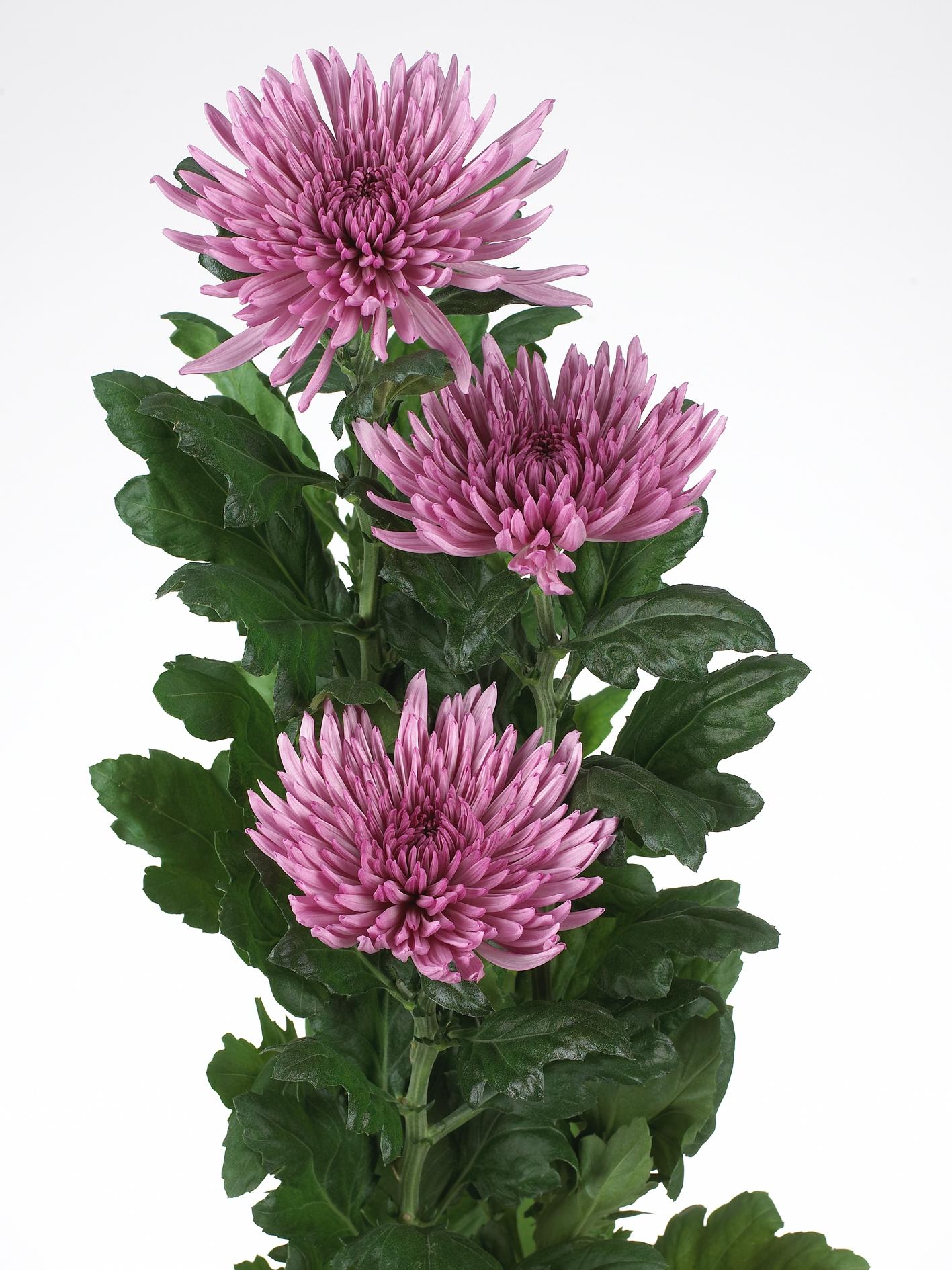 wholesale flowers | mums- lavender anastasia