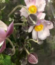 Anemones, Japanese