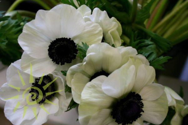 Anemone-white-black-wholesale