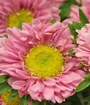 Aster, Matsumoto-light Pink