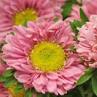 Aster - Matsumuto - Pink
