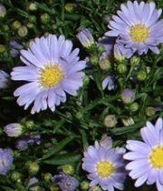 Aster, Montecasino-lavender