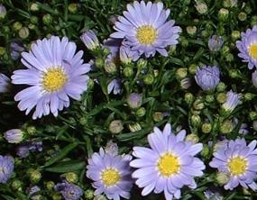 aster-montecasino-lavender