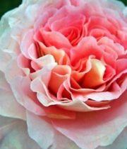 Rose Garden, Augusta Louise-SA