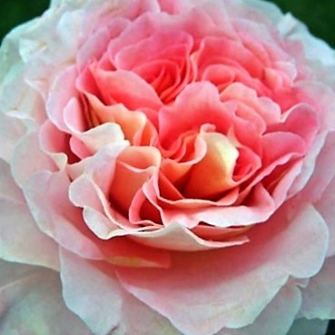 wholesale flowers | garden rose  augusta luise