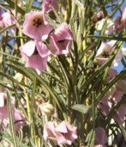 Aussie Bells-pink