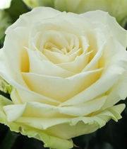 Rose, Avalanche-SA