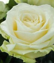 White Avalanche Rose, 60cm
