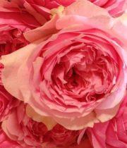 Rose Garden, Bel Canto-CA
