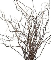 Curly Willow Branches, Long
