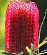 Protea, Banksia-red