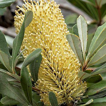 wholesale flowers | protea- banksia yellow