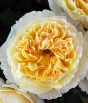 Rose Garden, Beatrice-SA