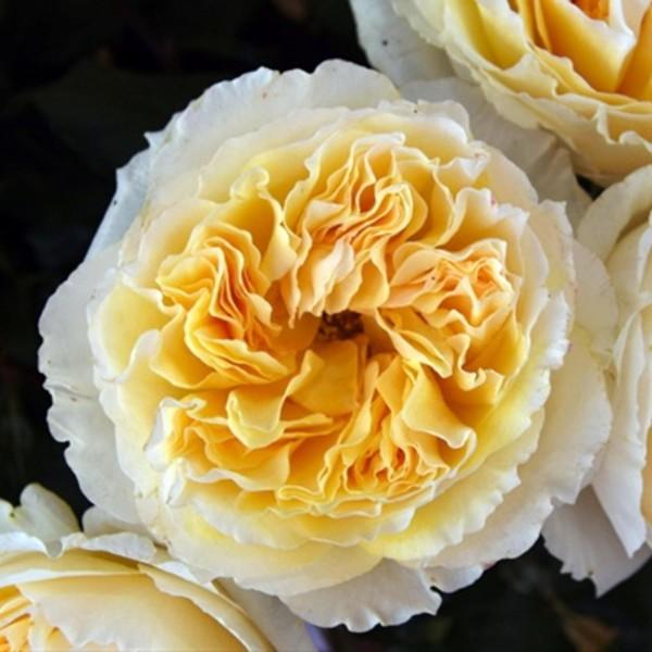 Beatrice Garden Roses
