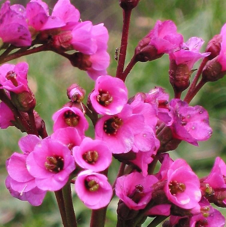 Bergenia_cordifolia wholesale
