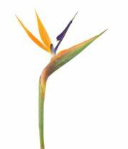 Birds Of Paradise-orange