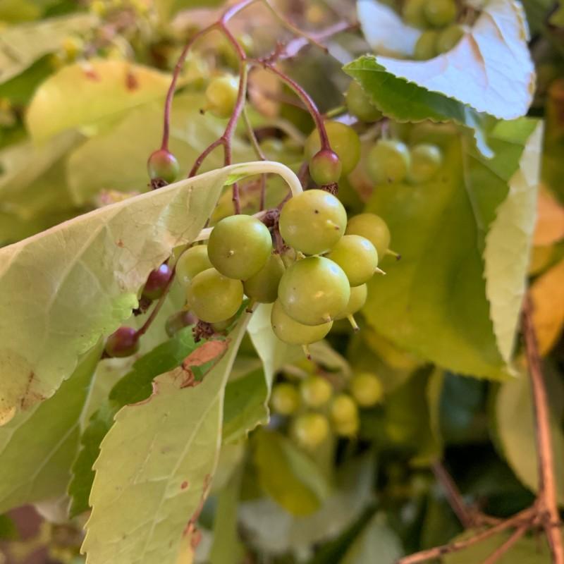 Bittersweet Green