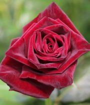 Rose, Black Baccara-SA