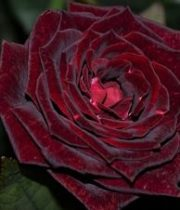 Rose, Black Magic-dark Red