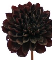 Dahlias, Field-black