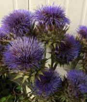 Artichoke, Large Flowering-blue