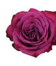 Rose, Blueberry-SA