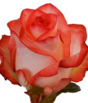 Rose, Blush-SA