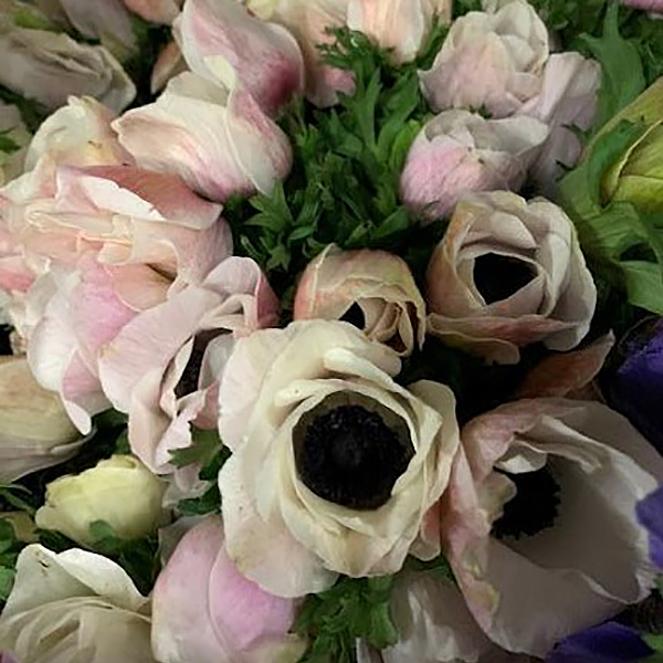 Blush Anemones