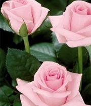 Rose, CA-Blushing Akito-light Pink