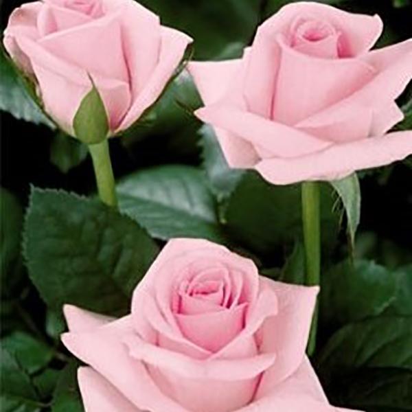 Blushing Akito Rose