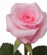 Rose, Blushing Akito-SA