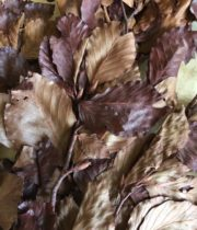 Copper Beech-brown