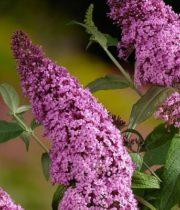 Buddleia-pink