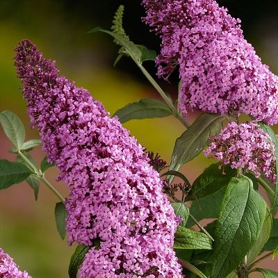 wholesale flowers | buddleia pink
