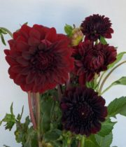 Dahlias, Field-burgundy