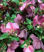 Helleborus-purple