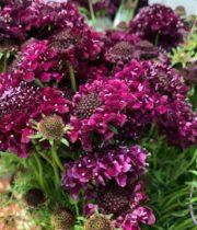 Scabiosa-burgundy
