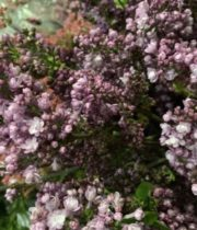 Lilac, California-lavender