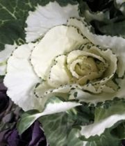 Cabbage Rosettes-white/green