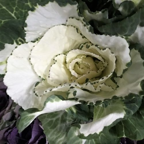 wholesale flowers | cabbage green white