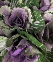 Cabbage Rosettes-purple/green