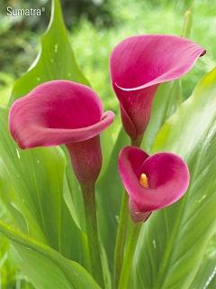 wholesale flowers calla sumatra