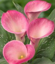 Callas, Mini-pink