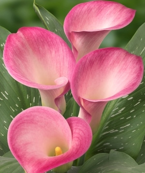 wholesale flowers calla -PINK-LILY-CAPTAIN-ALMA
