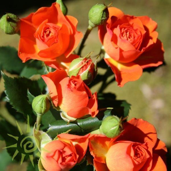 Rose_Babe