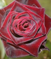 Rose, Black Baccara-CA